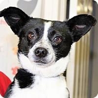Adopt A Pet :: DODGER - Hurricane, UT