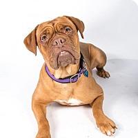 Dogue de Bordeaux Dog for adoption in St. Louis Park, Minnesota - Roulette