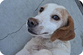 Hound (Unknown Type) Mix Dog for adoption in Prince George, Virginia - Pippa