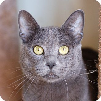 Domestic Shorthair Cat for adoption in El Cajon, California - Fluffy