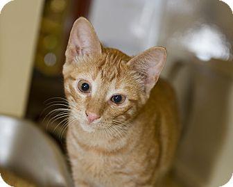 Domestic Shorthair Kitten for adoption in Farmingdale, New York - Odie