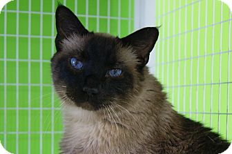 Siamese Cat for adoption in Memphis, Tennessee - Simon