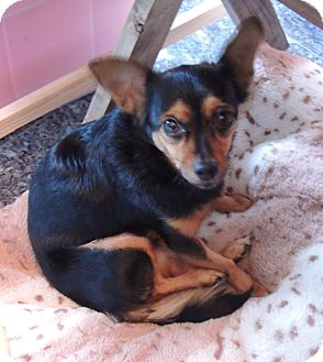 Chihuahua Mix Dog for adoption in San Diego, California - Chika
