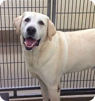 Labrador Retriever Dog for adoption in Brattleboro, Vermont - Blaze