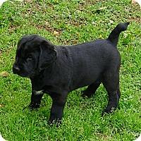 Adopt A Pet :: Wyatt big bubba bear so cute - Sacramento, CA