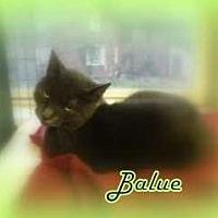 Domestic Shorthair Cat for adoption in Harleysville, Pennsylvania - Balue