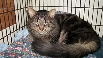 Domestic Longhair Cat for adoption in Lacon, Illinois - Nile