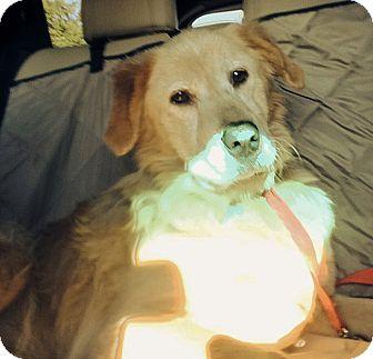 Golden Retriever Mix Dog for adoption in BIRMINGHAM, Alabama - Skippy