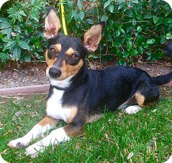 Corgi Mix Dog for adoption in La Jolla, California - PHOENIX