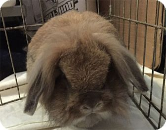 Lionhead Mix for adoption in San Clemente, California - POP