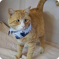 Adopt A Pet :: RANGOON - CROSS-EYED LAP LOVER - Plano, TX