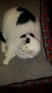 American Shorthair Cat for adoption in Manchester, Tennessee - Becky