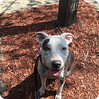Adopt A Pet :: Ivy - Chicago, IL