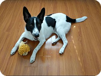 Border Collie Mix Dog for adoption in Mesa, Arizona - JAKE 1 YR BORDER COLLIE