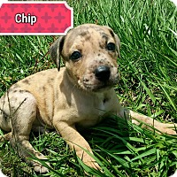 Adopt A Pet :: Chip - Ft. Myers, FL