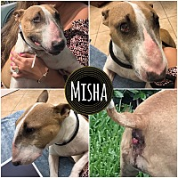 Bull Terrier Dog for adoption in Lake Worth, Florida - Misha