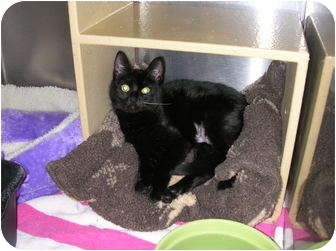 Domestic Shorthair Cat for adoption in Woodstock, Georgia - Allegra