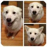 American Eskimo Dog/Samoyed Mix Dog for adoption in Elmhurst, Illinois - Lenny