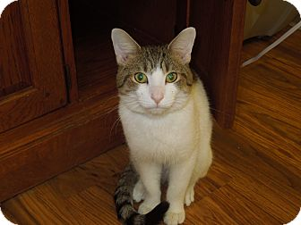 Domestic Shorthair Cat for adoption in Medina, Ohio - Marv