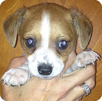 Beagle/Chihuahua Mix Puppy for adoption in Thousand Oaks, California - Groucho