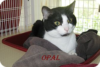 Domestic Shorthair Cat for adoption in Shelby, North Carolina - Opal