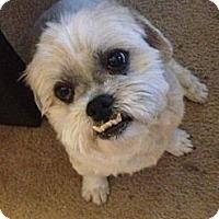 Adopt A Pet :: Little Ewok - Los Angeles, CA