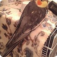 Adopt A Pet :: Yogi - Lenexa, KS