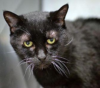 Domestic Shorthair Cat for adoption in Philadelphia, Pennsylvania - Minah