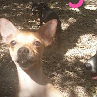 Adopt A Pet :: Lily - Pflugerville, TX