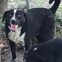 Australian Shepherd/Labrador Retriever Mix Dog for adoption in Staunton, Virginia - Daryl