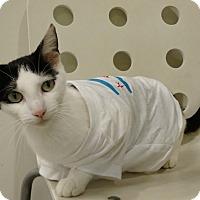 Adopt A Pet :: Spumoni - Chicago, IL