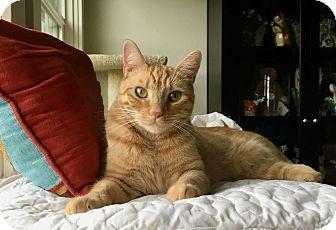 American Shorthair Cat for adoption in Novato, California - Teddy