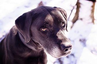 Labrador Retriever Mix Dog for adoption in Brattleboro, Vermont - Teddy
