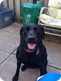 Labrador Retriever Mix Dog for adoption in Mount Hope, Ontario - Ella