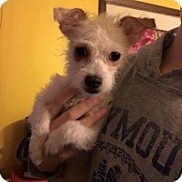 Adopt A Pet :: Rosita - Newtown, CT