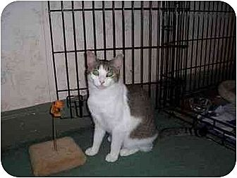 Domestic Shorthair Cat for adoption in North Plainfield, New Jersey - Shelby