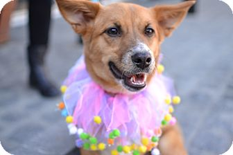 Corgi Mix Puppy for adoption in Los Angeles, California - Tullulah