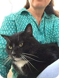 Domestic Shorthair Kitten for adoption in San Jose, California - Oliver