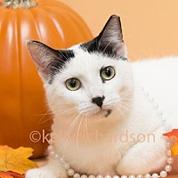 Domestic Shorthair Cat for adoption in Oviedo, Florida - Lilly