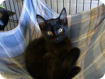 Domestic Shorthair Kitten for adoption in Quincy, California - Sophie