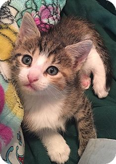 Domestic Shorthair Kitten for adoption in Tampa, Florida - Cha Cha