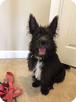 Schnauzer (Standard)/Terrier (Unknown Type, Small) Mix Dog for adoption in Cincinnati, Ohio - Sigma (Siggy)