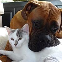 Adopt A Pet :: Cuddlepuss - Morgan Hill, CA