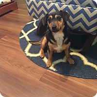 Dachshund/Chihuahua Mix Dog for adoption in Goldens Bridge, New York - Dolly