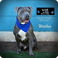 Adopt A Pet :: Walker - Palmdale, CA