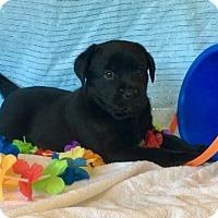 Adopt A Pet :: Maui (Polynesian Crew) - Alexandria, VA