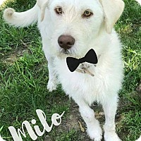Adopt A Pet :: Milo in Ct - Manchester, CT