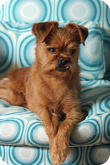 Brussels Griffon Dog for adoption in Los Angeles, California - WINSTON - ADOPTION PENDING