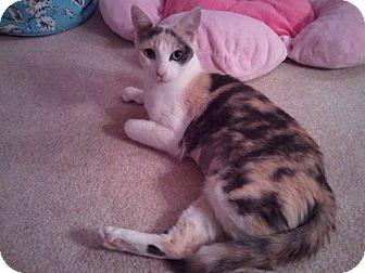 Calico Cat for adoption in Laguna Woods, California - Scarlett