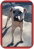 Shar Pei Mix Dog for adoption in Windham, New Hampshire - Tinkerbell (Urgent!) $250 fee